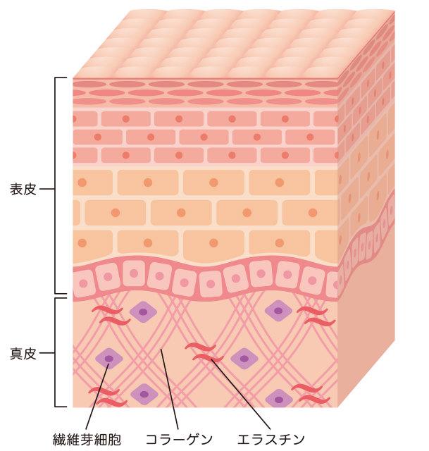 肌の真皮の成分